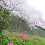 桜と石垣とつつじ