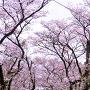 「杉の馬場」桜のトンネル