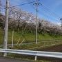 外郭の桜並木