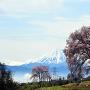 富士と「わに塚のサクラ」