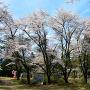 桜満開の本丸跡