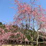 青空に咲く桜[提供:一般社団法人朝倉氏遺跡保存協会]