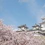 桜の海から顔を出す