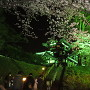 夜桜・高田城