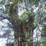 清政公お手植えの樹