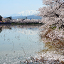 西堀の桜と妙高山