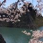 天主台石垣と桜