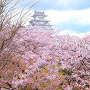 桜尽くしと、萌ゆる牡丹