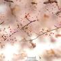 桜で天守を囲む(北側から)