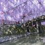 近くの神社の「中山の大藤」