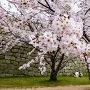 二ノ丸石垣と桜