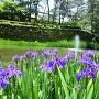 方祥池に咲くカキツバタ