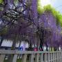 在士八幡神社 紫藤棚