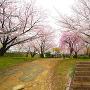二の丸と桜