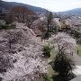 天守から見た桜の本丸