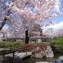 桜越しの天守