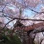 春の桜雲橋
