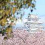 中濠から見える桜