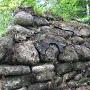 本丸跡土塁に僅かに残る石垣
