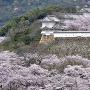 桜回廊遠景