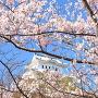 早咲きの桜の隙間から