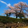 堀川の石垣と桜