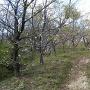 桜が散っている物見山砦入口(2017.4)