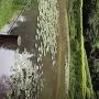 箱井戸のスイレン[提供:三島市役所商工観光課観光政策室]