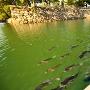 高松城 水堀内の鯛の群れ