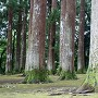 旧本丸に乱立する飫肥杉
