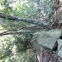 馬蹄形曲輪の残存石垣