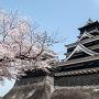桜と熊本城天守(2015年)[提供:キロクマ!]