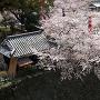 熊本城の桜(2015年)[提供:キロクマ!]