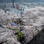 高石垣から望む満開の桜