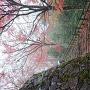 紅葉の絨毯(郡上八幡城)
