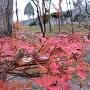紅葉と盛岡城の石垣石垣