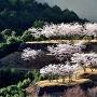 桜咲く赤木城[提供:西山地区 地域まちづくり協議会]