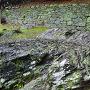 緑色片岩(阿波の青石) の岩盤と石垣②