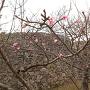 城門と早咲き桜(by2016年)