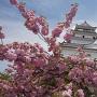天守と八重桜